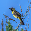 A young male Orchard Oriole.
