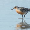 Red Knot  testing the water.
