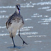 A Willet calling.