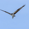 Osprey with fish, flyover.