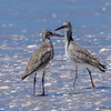 A pair of Willets