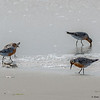 A group of Red Knots  feeding.
