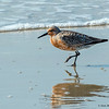 A Red Knot on the beach on Ocracoke Island, NC.