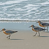 Trio of Red Knots on the beach.