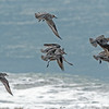 Red Knots  in flight.