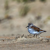 A Sanderling in the Dunes