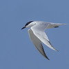 A Gull-billied Tern showing lots of wing detail.