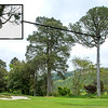 "Ball lodged high up in a Kahikatea tree right of the 13th fairway - assumed to be  Nathan Zhao from Guam's lost ball off the tee (too high to verify) on Day 3 of the Asia-Pacific Amateur Championship tournament 2017 held at Royal Wellington Golf Club, in Heretaunga, Upper Hutt, New Zealand from 26 - 29 October 2017. Copyright John Mathews 2017.    <a href=""http://www.megasportmedia.co.nz"">http://www.megasportmedia.co.nz</a>"