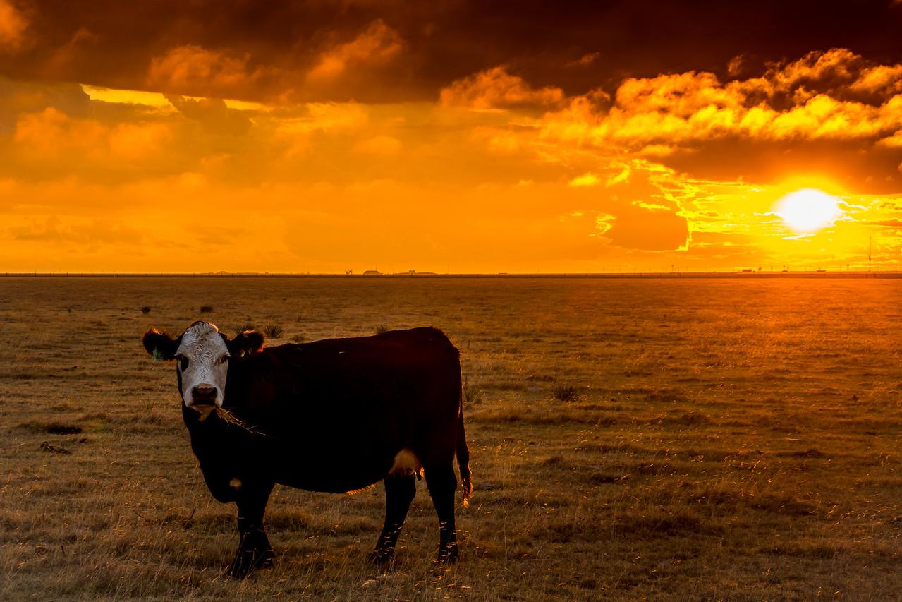 Happy Cow Sunset