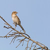 northern shrike sooke bc