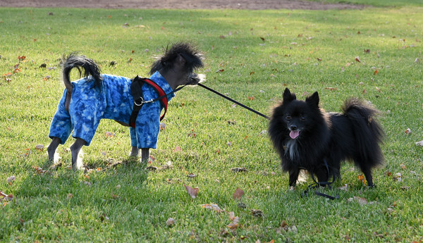 111416  Wesley Bunnell | Staff  Meghan Knight of New Britain took her two dogs out to play on a mild Monday afternoon. Mooshu, a one year old Hairless Chinese Crested shown left, holds the leash of Gucci, a 7 year old Pomeranian.