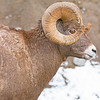 big horn sheep jasper national park