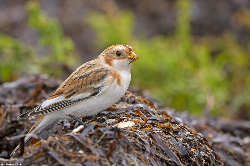 snow bunting blackie spit surrey bc