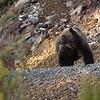 grizzly bear  banff national park