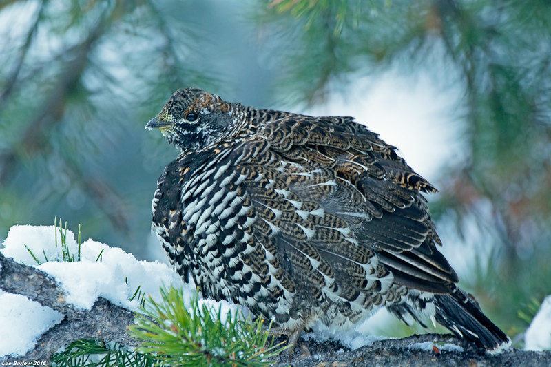 spruce grouse jasper national park