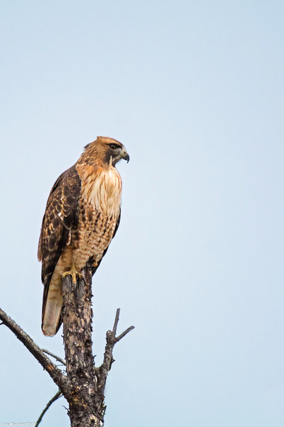 red-tailed hawk bc interior