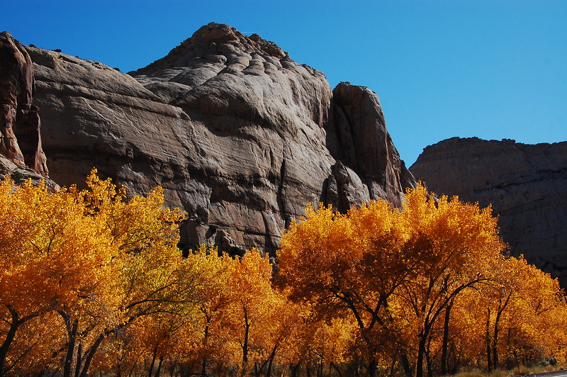 Late autumn leaves contrast against the stark sandstone at Capitol Reef NP.