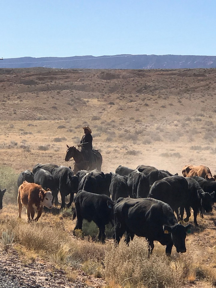We had to stop for a cattle drive that was running up the road along Bullfrog Basin Road, outside Capitol Reef NP.  We watched the cowboy legit lasso some cows and I suddenly felt like a whole lot less of a man.