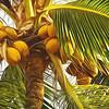 Coconuts, Cardwell Van Park.