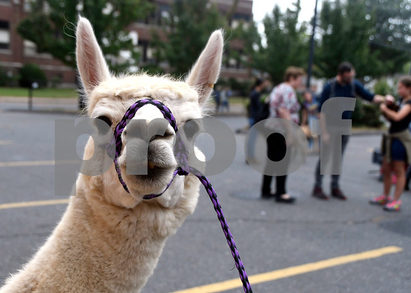 10/14/2017 Mike Orazzi | Staff Southington High School Regional Agriculture Program's Allie the llama during a Harvest Day Festival held at the Imagine Nation Museum Early Learning Center in Bristol Saturday morning.