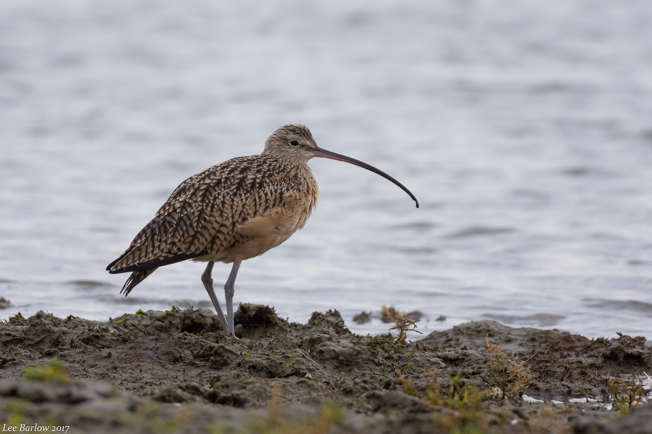long-billed curlew  crescent beach Surrey bc