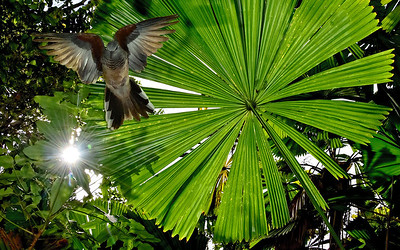 Fan Palm and Peaceful Dove.