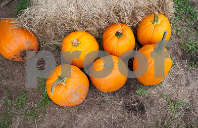 09/21/18  Wesley Bunnell | Staff  Pumpkins for display at Rogers Orchards pick your apples on Friday September 21.