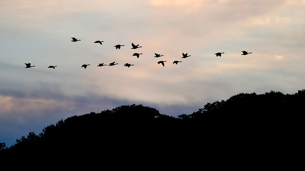 10/9/2018 Mike Orazzi | Staff A flock of geese over Bristol Tuesday evening near Page Park.