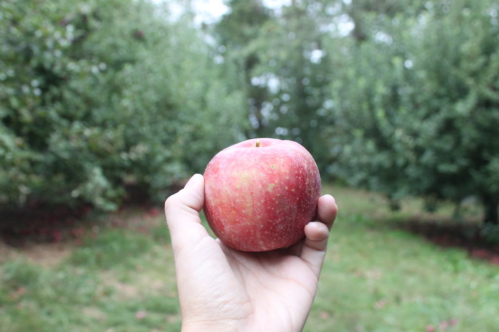 A hand holds an apple in an orchard
