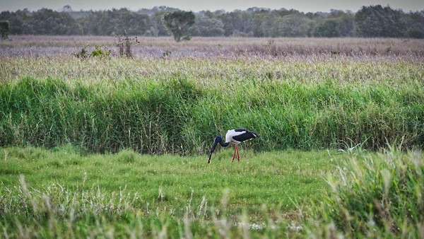 Eel catching Jabiru. Town Common.  Took a minute or two to get a good purchase on it to allow swallowing.