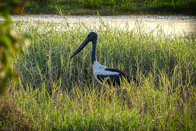 Jabiru, brought up close, Townsville Common. 3:2 crop.