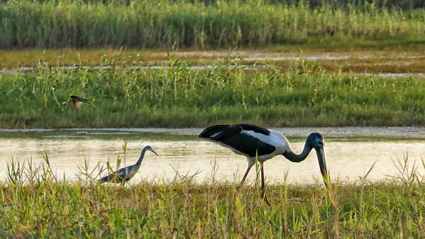 Jabiru, Egret and unidentified bird. Town Common. Sunset.