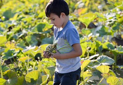 Ramon Mojica, 4, looks for the perfect pumpkin at Henshaw Farm on Thursday in Chico. (Matt Bates -- Enterprise-Record)