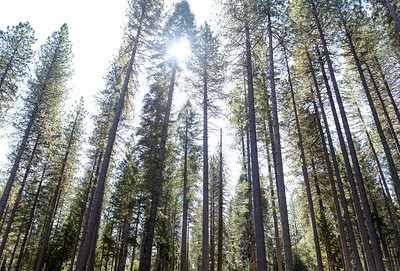 The sun shines through a group of trees during the Berry Creek forest health tour Tuesday in Berry Creek. (Matt Bates -- Enterprise-Record)