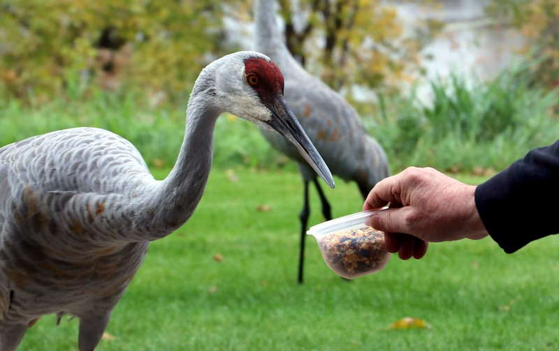 Paul Moe hand feeds Guido, a wild sandhill crane Tuesday, Oct. 15, 2019 that has stopped by his White Bear Lake residence every year for nine years before it migrates south. Moe and his fiance Debbie Dorner nicknamed the crane Guido and his mate Gloria. Moe believes the birds nest nearby and show up when the juvenile can fly. They have watched them teach the baby a mating dance, heard them squawk at dogs and laughed as they keep the squirrels away from their corn and sunflower seeds. Guido has been known to peck at the sliding glass door for his dinner. (Deanna Weniger / Pioneer Press)