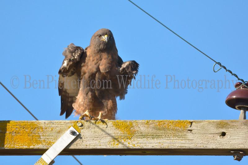 Dark Phase Red-Tailed Hawk