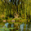 Golden willow in Lotus Pond