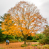 The sugar maple tree