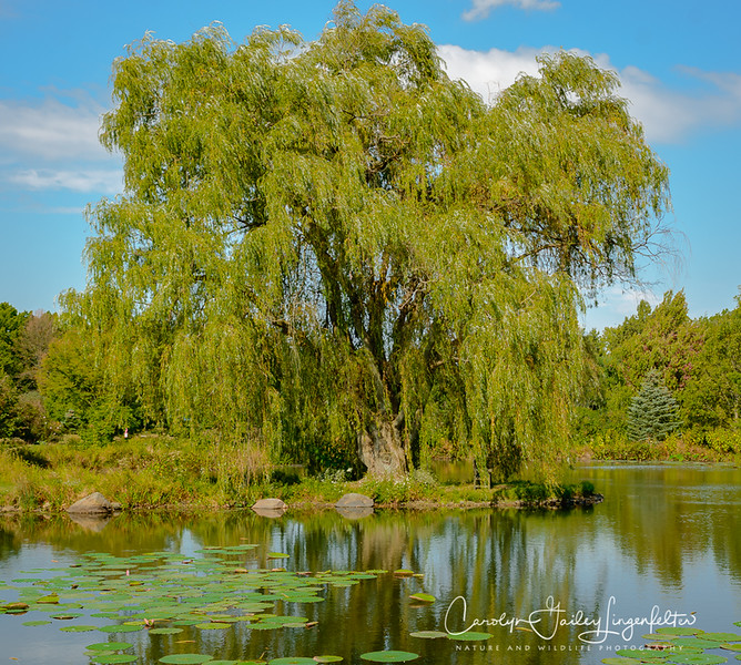 The golden willow again