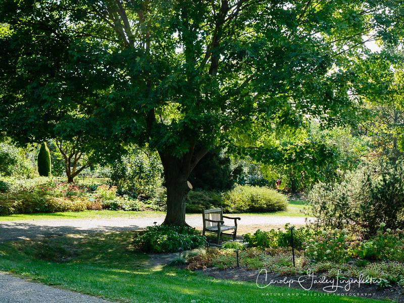 Sugar Maple tree at the beginning of October