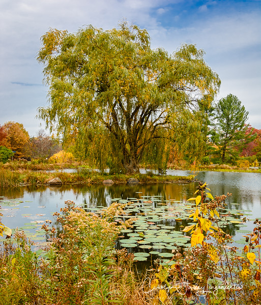 The golden willow tree in Lotus Pond
