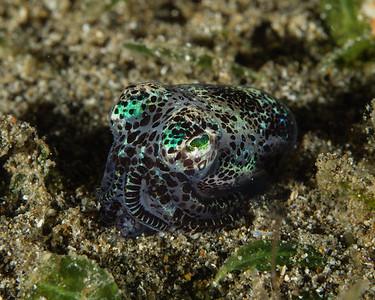 Bobtail squid burying himself in the sand #anilao #gh5 #squid #bobtail #bobtailsquid #panasonic #scuba #philippines #macro #olympus #60mmmacro #easydiverman