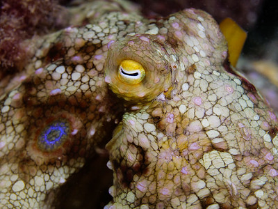 The two-spot octopus is a staple in Southern California waters. So named for its two blue false eye spots under each eye, they have a two year lifespan.