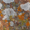 Lichens on granite boulders