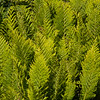Chain Fern   (Woodwardia fimbriata)