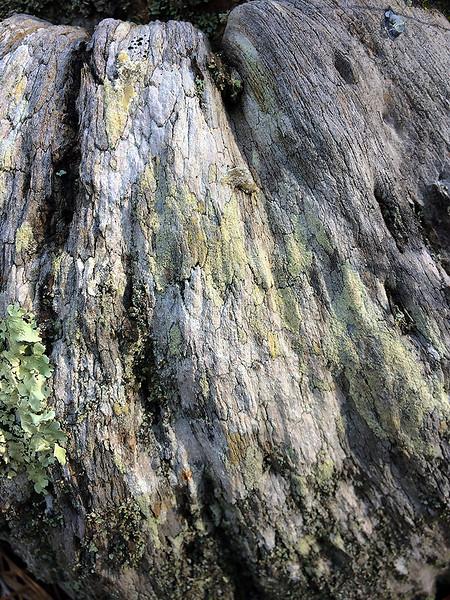 Lichens on tree stump