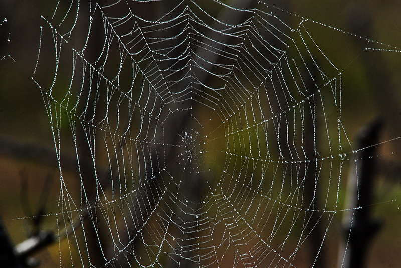Morning dew on Web