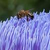 Honey bee on artichoke