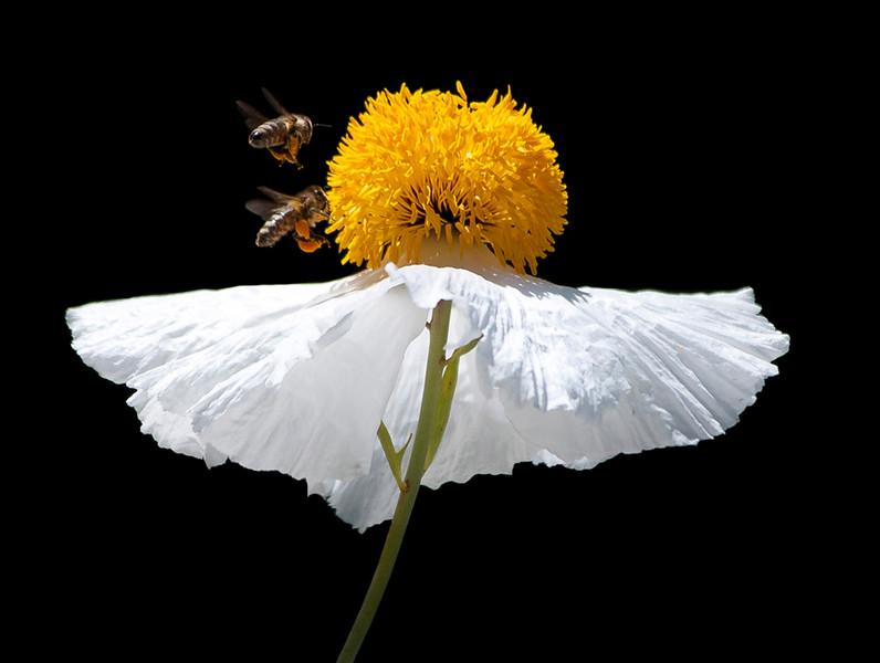 Honey bees and Matilija poppy