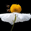 Honey bees and Matilija poppy